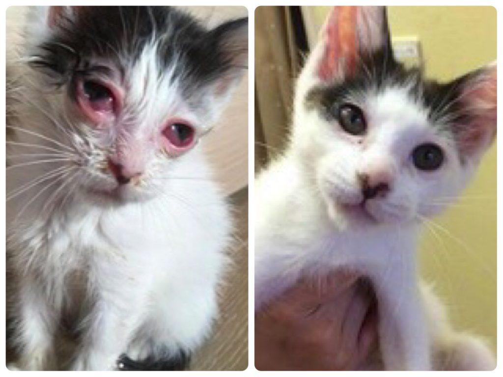 ペットスペース&クリニックまりもにて医療ケアを受けた保護猫のビフォー・アフター